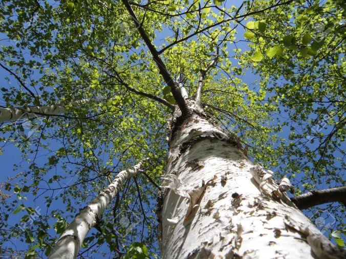 4872033-De-la-terre-la-recherche-d-un-arbre-de-bouleau-blanc-Les-feuilles-au-sommet-de-l-arbre-vert-vif-clat-Banque-d'images