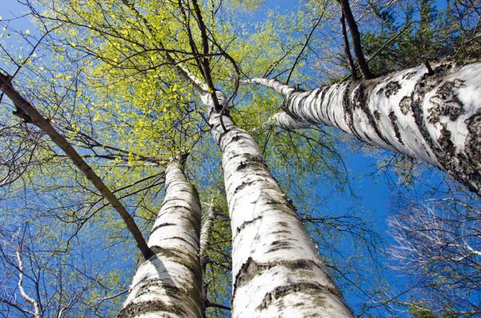 beautiful-spring-birch-tree-trunks-sky-background-forest-55420340